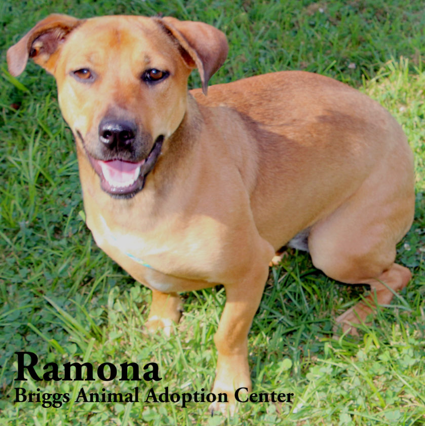Ramona is a spayed, female basset hound mix. She is 1-year-old and weighs 38 lbs. Ramona loves attention and knows quite a few commands. She's a fun-loving girl who enjoys playing with the jolly ball and splashing in the pool when it's warm. Ramona is available for adoption at the Briggs Animal Adoption Center in Charles Town. Call 304-724-6558 or visit baacs.org for more information.