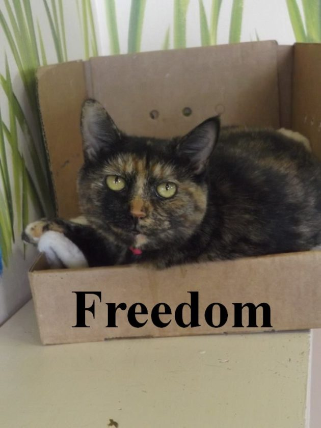 Hi! My name is Freedom and I have been at the Berkeley County Humane Society in Martinsburg since Sept. 10, 2016. I' m about 18-months-old and I get along fine with other cats! I would be happiest in a calm, quiet home without dogs. My adoption fee has been paid by an admirer of mine. Won't you come to 554 Charles Town Road to meet me?
