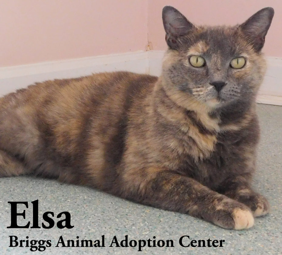Elsa is a beautiful dilute torti with striking eyes. She is 4-years-old and weighs 14 lbs. Elsa is talkative and friendly. She arrived at our center with her four kittens, all of whom have now been adopted. To find out more about Elsa, contact the Briggs Animal Adoption Center in Charles Town, at 304-724-6558 or visit baacs.org