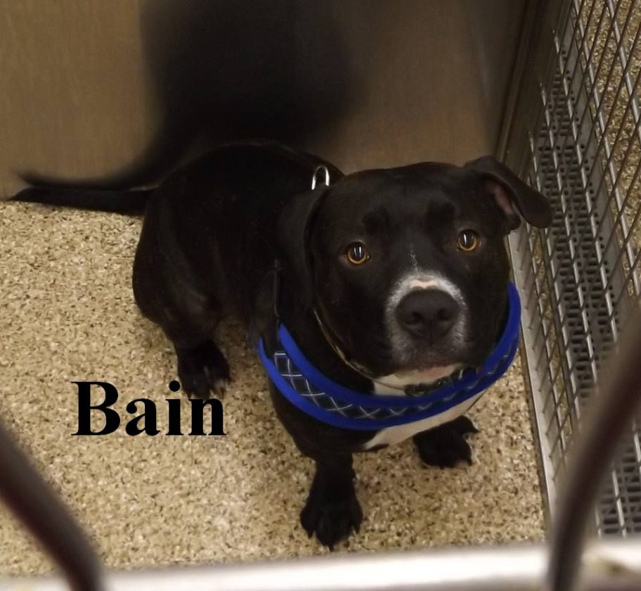 Hi! My name is Bain and I am a 2-year-old male Pit Bull. I love to give kisses and am a very loving boy. Please come to the Berkeley County Humane Society, 554 Charles Town Road, Martinsburg, to visit with me. My adoption fee is $125 and I'd love to go home with you!