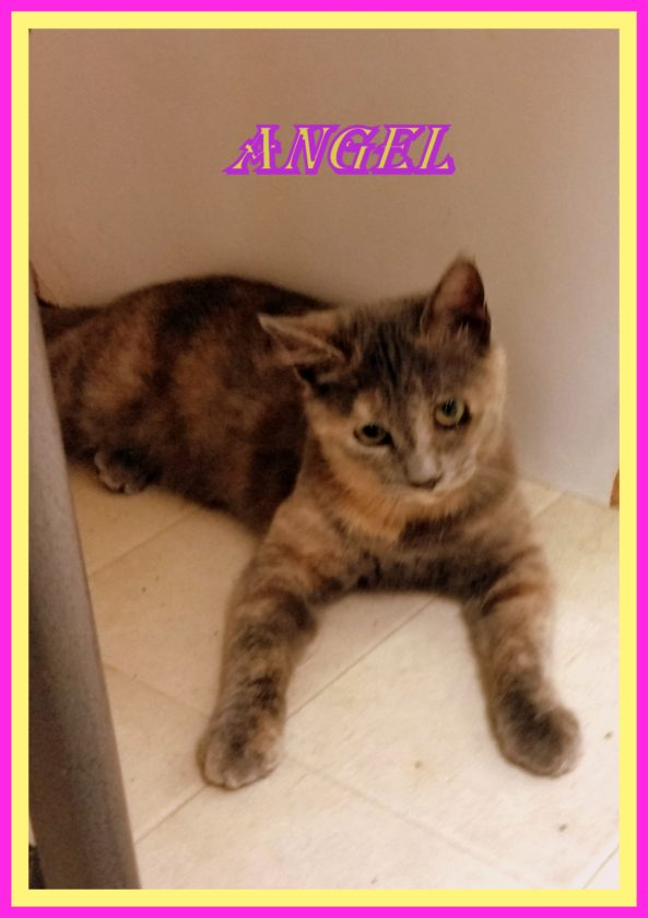(Submitted photos) Angel is a very sweet younger cat with a playful and even tempered personality. Humane Society of Morgan Count