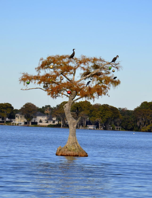 A stranded cypress tree in the middle of Maitland Lake attracts cormorants.  (Journal photo by Jeanne Mozier)