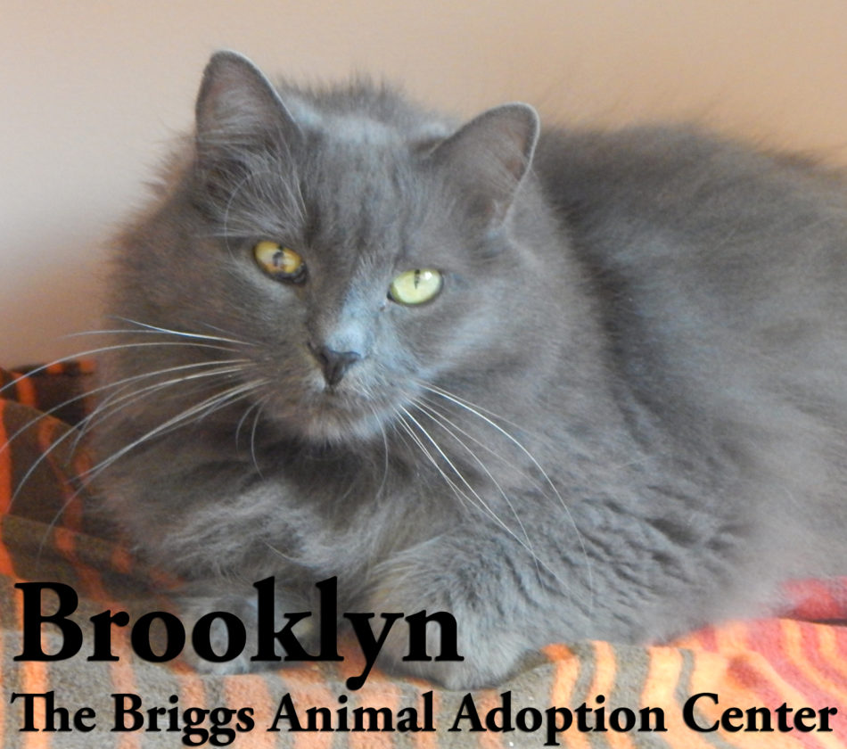 Brooklyn is a fluffy, grey domestic longhair. She is 8 years old and weighs 12 lbs. Brooklyn loves to be brushed and cuddle with the other cats. She is shy with new people, but warms up once she gets to know you. To find out more about Brooklyn, contact the Briggs Animal Adoption Center in Charles Town, WV, at 304-724-6558 or visit baacs.org.