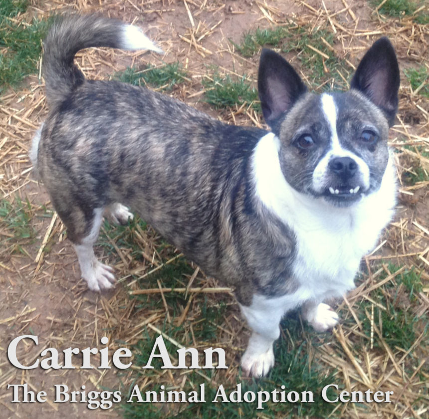 Carrie Ann is a 3-year-old Boston terrier mix. She is spayed and weighs 13 lbs. Carrie Ann has done well with some dogs but can be picky with others. She's not fond of cats or small children. With people who give her attention and love, she is very sweet and attentive. Carrie Ann is available for adoption at the Briggs Animal Adoption Center in Charles Town, WV. Call 304-724-6558 or visit baacs.org for more information.