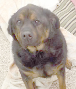 Hi! My name is D.J. and I am at the Berkeley County Humane Society with my best friend, Scrappy!  I am a neutered male, 12 yr. old, Rottweiler/Shepherd mix. Scrappy is a 13 yr. old, neutered male, Border Collie/Shepherd mix. We are up to date on our shots. We both would love to get adopted and to be able to stay together!