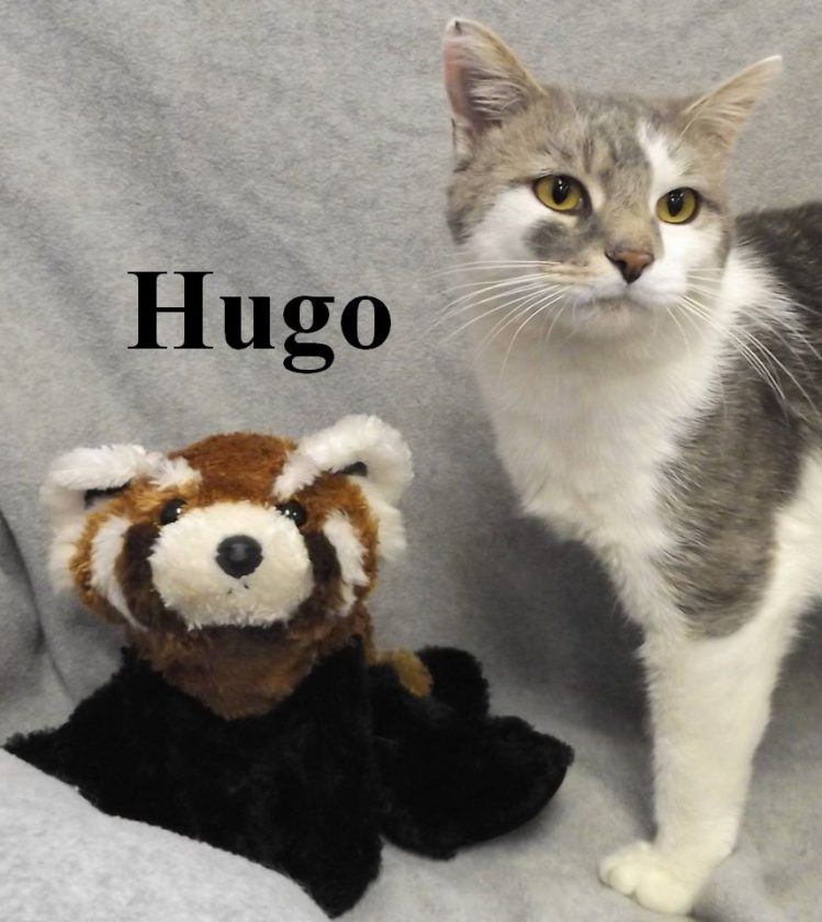 Hi! My name is Hugo and I am a year old, neutered male shorthair! I like to be around kids, dogs and other cats. Won't you come down to the Berkeley County Humane Society and meet me? I'm waiting for you!