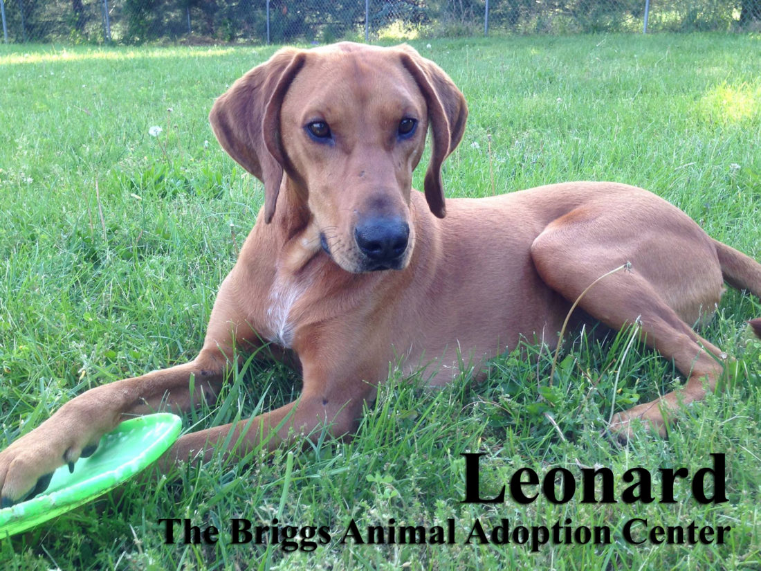 Leonard is a 2-year-old hound mix. He is neutered and weighs 54 lbs. Leonard can be anxious and a little nervous when he first meets someone but once he is comfortable, he is very attentive and loving. He has been known to challenge other dogs, so if you have another dog, we would have them meet each other at Briggs and even visit more than once to make sure they get along well. Leonard is available for adoption at the Briggs Animal Adoption Center in Charles Town. Call 304-724-6558 or visit baacs.org for more information.