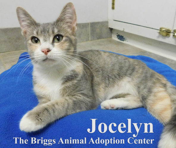 Jocelyn is a soft and loving dilute tabby/torti. She is 11-months-old and weighs 7 lbs. Jocelyn enjoys being held and loved on, but most of all she loves stretching out her long frame in a comfortable bed she can roll around in. To find out more about Jocelyn, contact the Briggs Animal Adoption Center in Charles Town at 304-724-6558 or visit baacs.org.