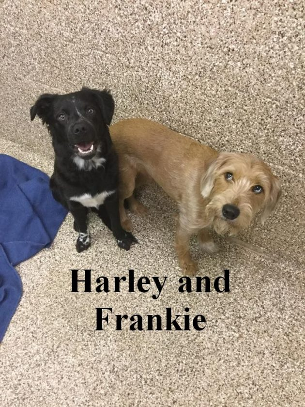 These two cuties are Harley and Frankie. They are both spayed/neutered and are very bonded to one another. Harley and Frankie are scared and nervous. But after about 10 minutes of giving them treats and talking to them, they will both be sitting in your lap. They give tons of kisses and even wag their tails. They will warm up with the right person. Both weigh around 35-40 pounds each. They need a patient owner who will love and socialize them. The rewards will be all yours. Meet them at Berkeley County Humane Society, 554 Charles Town Road, Martinsburg, 304-267-8389.