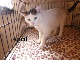 April is a beautiful 7-year-old spayed female. April is super sweet and gentle. She loves to be petted! You can meet April at the Humane Society of Morgan County 304-258-5592.
