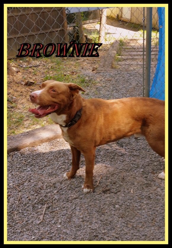Brownie is a neutered male retriever mix. Brownie has a gorgeous coat. Brownie is up to date on his shots and weighs about 66 pounds. Brownie is at is at the Humane Society of Morgan County, 304-258-5592.