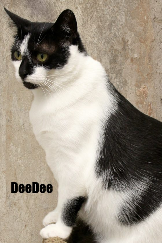 DeeDee is a 2-year-old black and white female domestic short hair and is both playful and affectionate. She loves toys and is very fast when the laser pointer comes out. She likes to play with other friendly cats and especially loves attention from people. DeeDee is a lap cat after playtime and prefers to sleep near her humans at night.  DeeDee is spayed, microchipped, and up to date on vaccinations. Visit DeeDee at: Animal Welfare Society-JC, 23 Poor Farm Road, Kearnyesville, 304-725-0589 or visit our website awsjc.org