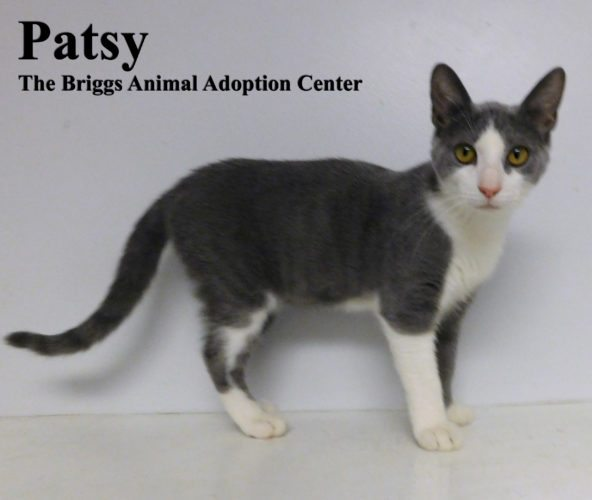Patsy is a striking grey and white domestic shorthair. She is 5-months-old and weighs 4 pounds. Patsy is an energetic and playful kitten who can't resist a good toy. The rest of the kittens from her litter have all been adopted, so Patsy is the last one waiting for her forever home. To find out more about Patsy, contact the Briggs Animal Adoption Center in Charles Town,  at 304-724-6558 or visit baacs.org.