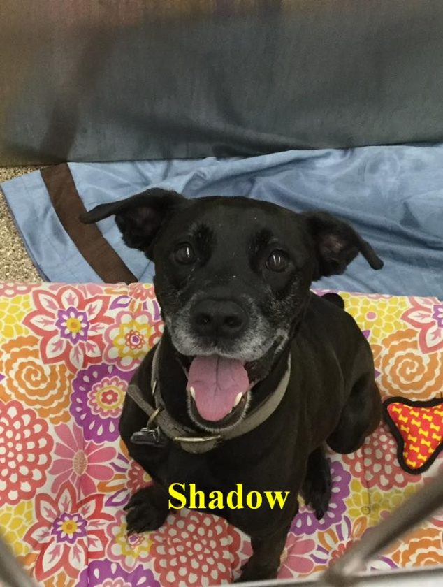 Shadow is a 5-year-old, vaccinated, Black Lab mix. She thinks all small animals are toys and chases them, so, she needs a home without other animals. She is very friendly with people and knows basic commands! Her adoption fee is $125. Shadow is available at the Berkeley County Humane Society, 554 Charles Town Road, Martinsburg, 304-267-8389.