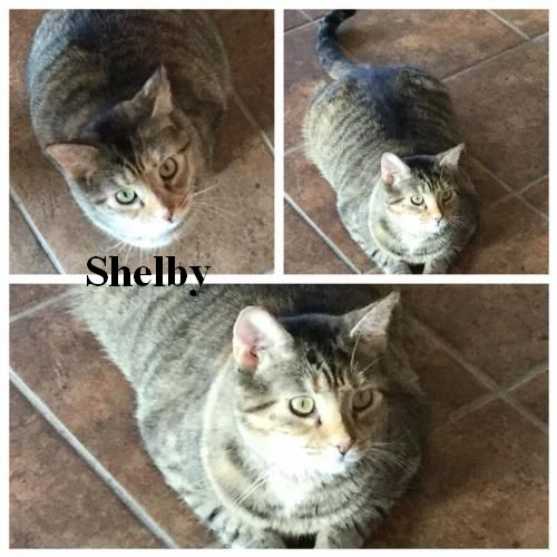 This big girl is Shelby! She is a 5-year-old, spayed, vaccinated Calico Tabby. She is good with cats after she gets to know them. Shelby is full of love. She will follow you around to get cuddles! Her adoption fee is $65. Shelby is available at the Berkeley County Humane Society, 554 Charles Town Road, Martinsburg,  304-267-8389.