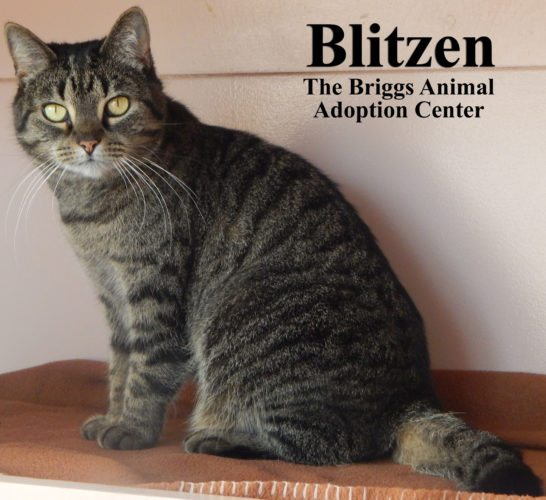 Blitzen is a 10-year-old brown tabby. She is a domestic shorthair and weighs 8.5 pounds. Blitzen and her sister, Dancer, are mellow senior cats. They are almost identical, but Blitzen is thinner than Dancer and has a distinguishing single black freckle on her nose. Blitzen is also more outgoing than her sister and will regularly approach people for affection. To find out more about Dancer and Blitzen, contact the Briggs Animal Adoption Center in Charles Town, WV, at 304-724-6558 or visit baacs.org.