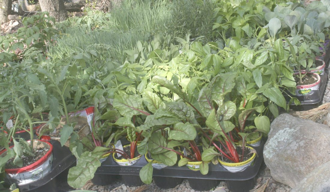 A large supply of vegetables awaiting transplanting into home gardens. Buying supplies in bulk and then dividing them with your neighbors will provide a healthy financial return. (Dean Fosdick via AP)
