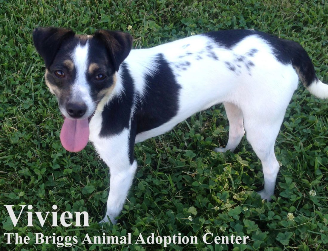 Vivien is a 1-year-old Jack Russell terrier mix. She is spayed and weighs 13.4 lbs. Vivien is very attached to her sister, Viva, and we would like to see them stay together. They are friendly girls but it takes them a little while to warm up to new people. Since they are shy, it would probably be best for them to be in a quiet home. To find out more about Viva and Vivien, contact the Briggs Animal Adoption Center in Charles Town, WV, at 304-724-6558 or visit baacs.org.