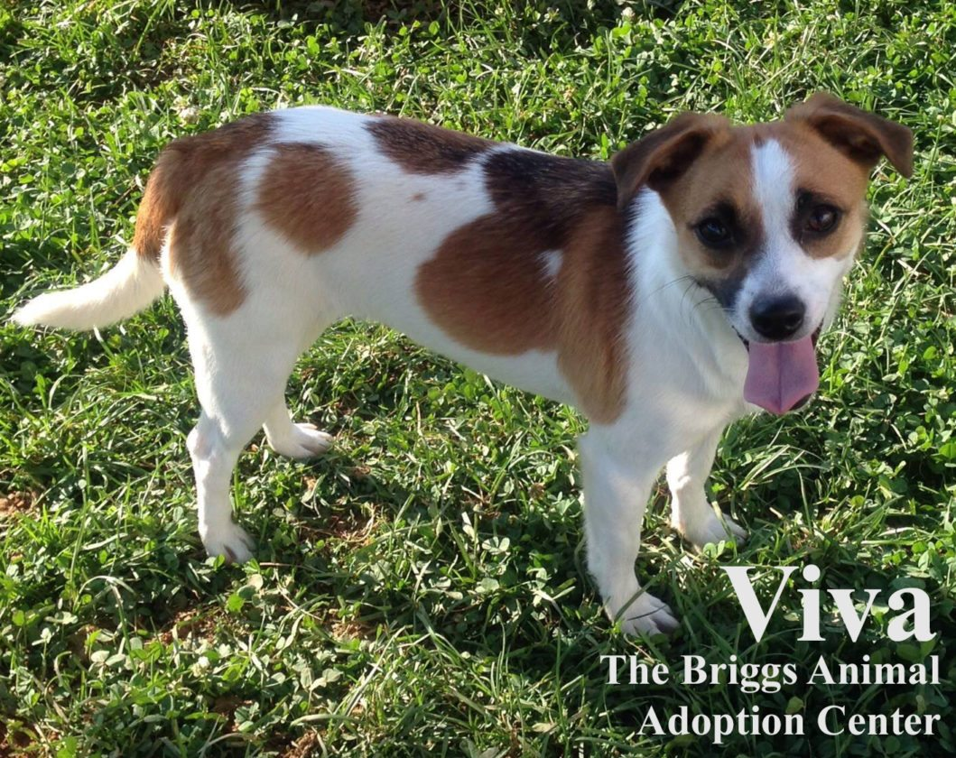 Viva is a 1-year-old Jack Russell terrier mix. She is spayed and weighs 13 lbs. Viva is very attached to her sister, Vivien, and we would like to see them stay together. They are friendly girls but it takes them a little while to warm up to new people. Since they are shy, it would probably be best for them to be in a quiet home. To find out more about Viva and Vivien, contact the Briggs Animal Adoption Center in Charles Town, WV, at 304-724-6558 or visit baacs.org.