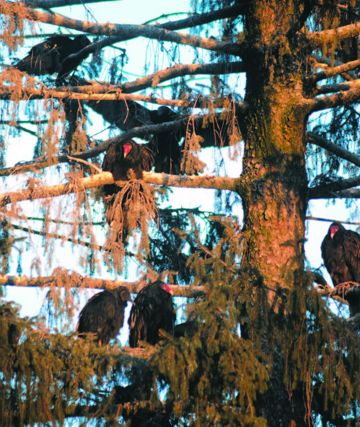 """Dozens of Turkey Vultures and Black Vultures roost for the night in banks of trees along South Samuel  Street in Charles Town. According to resident Virginia Webb, """"They started coming here for the winter about 10 years ago and they leave in the Springtime."""" (Journal Photo by Ron Agnir)"""