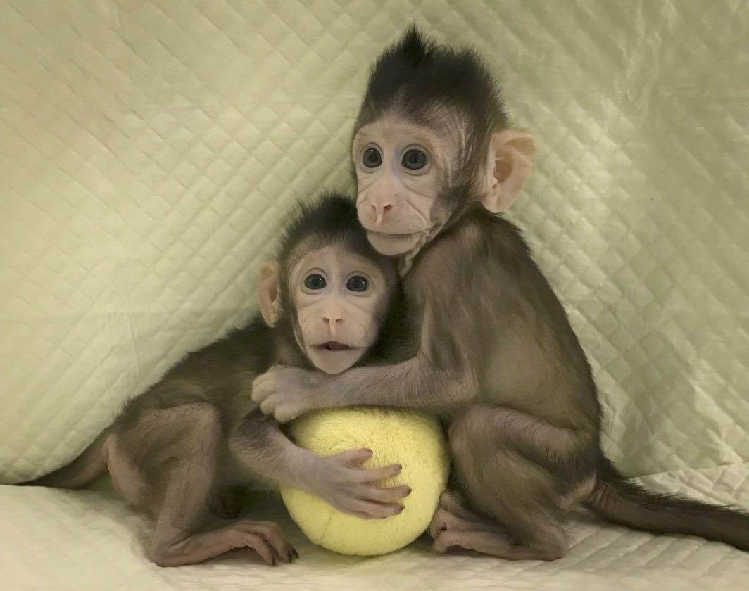 Cloned monkeys Zhong Zhong and Hua Hua sit together with a fabric toy. For the first time, researchers have used the cloning method that produced Dolly the sheep to create two healthy monkeys, potentially bringing scientists closer to being able to do that with humans. (AP photo)