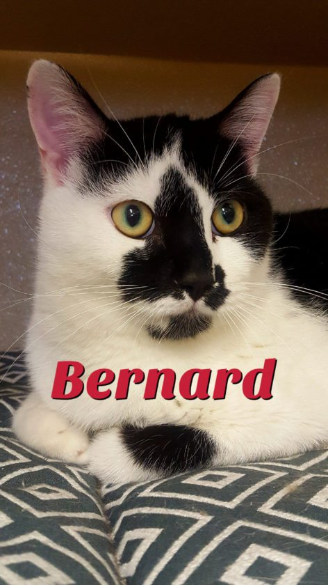 """Bernard (AWS) Bernard is looking for a special family to love. He's between 3 and 4 years old and a very laid-back dude. Used to hanging out with plenty of other cats, nothing really bothers Bernard. He'd be fine, as well, with a mellow dog who wouldn't pester him. All Bernard is searching for is someone to cuddle with and """"talk"""" to, some yummy cat treats, and a happy home. Please come say hello to this fellow at The Animal Welfare Society, 23 Poor Farm Road, Kearneysville, Wednesday through Saturday, 11 a.m. to 4 p.m"""