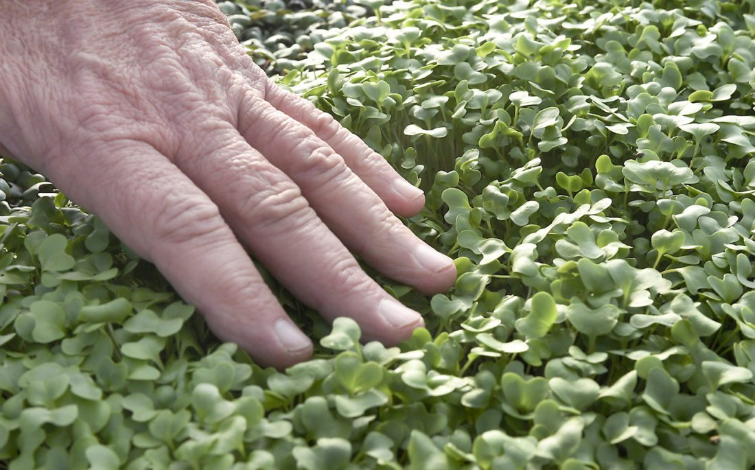 Bert Jones inspects broccoli, one of several microgreens grown inside Living Hope Farm's greenhouse. While other farmers wait out the winter,  Jones, the manager of the farm, is growing and harvesting despite the weather.  (AP photo)