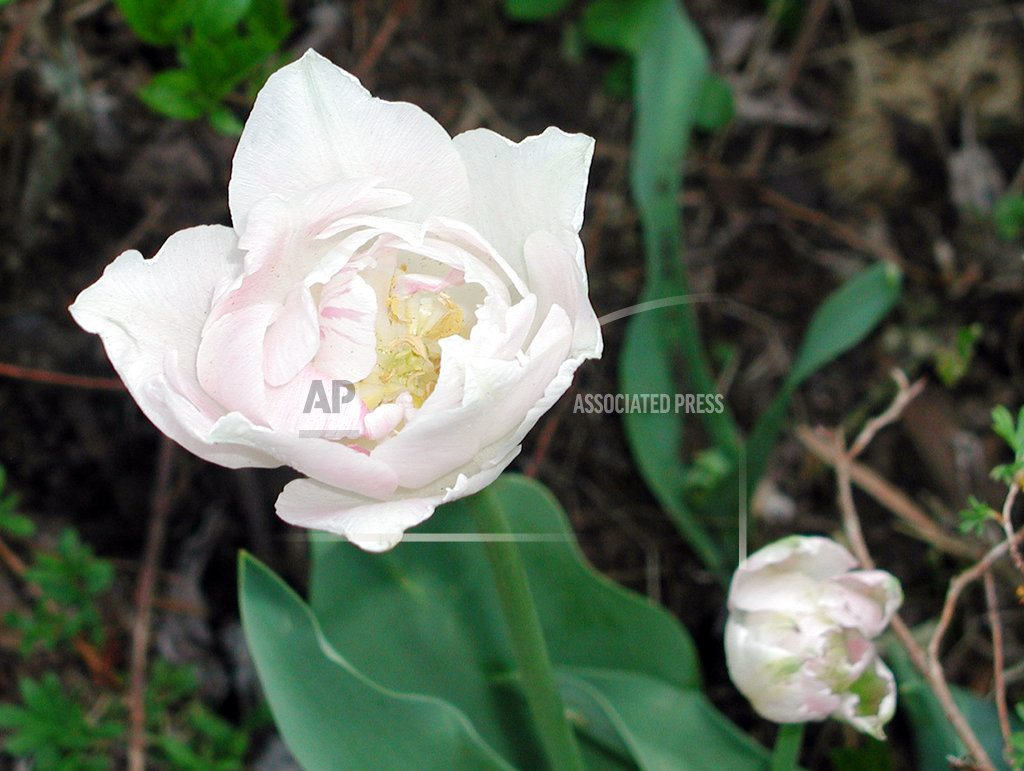Angelique one of the prettiest tulips is also easy to grow news an angelique tulip in new paltz ny angelique is a variety of tulip that not only bears beautiful blossoms but also will repeat the show year after year izmirmasajfo
