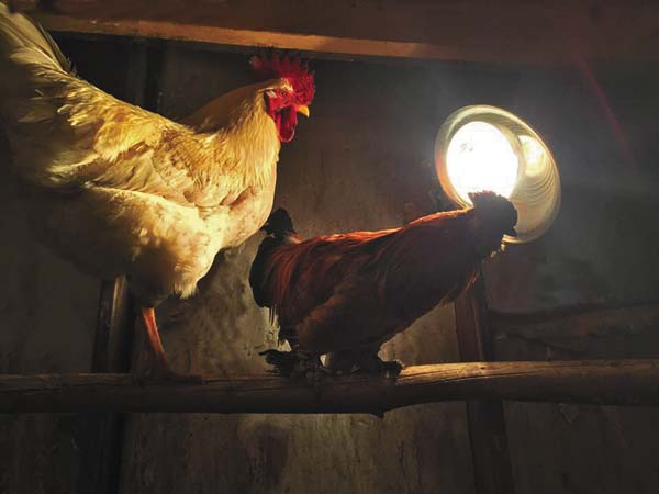 Two chickens in Middle Grove huddle in front of a heat lamp to stay warm in the minus 11 degree temperatures at 5:30 this morning. Animals also need protection during these frigid temperatures, but care is needed when using alternative heat sources such as space heaters and heat lamps. (The Leader-Herald/Patricia Older)