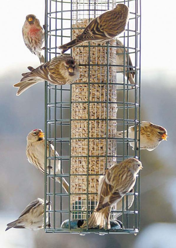 Redpolls gather at a feeder in Saranac Lake in January 2013. (Photo courtesy of Jim Bishop)