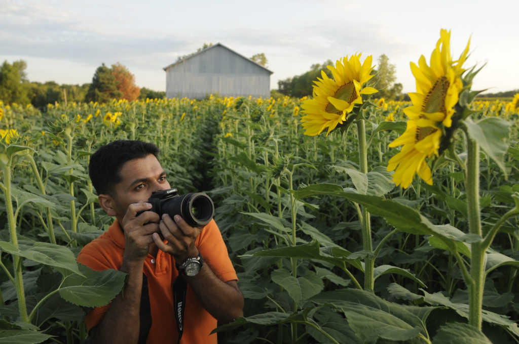 Sunflowers blooming in local fields news sports jobs lawrence kansas city mo frames a photo of a sunflower northeast of lawrence on sunday the states official flower is in full bloom at ted grinters farm near mightylinksfo