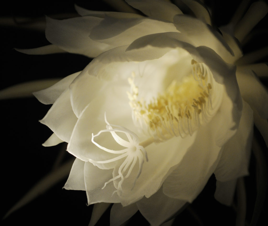 Night Blooming Cereus Adds Exotic Element To Indoor Plants News