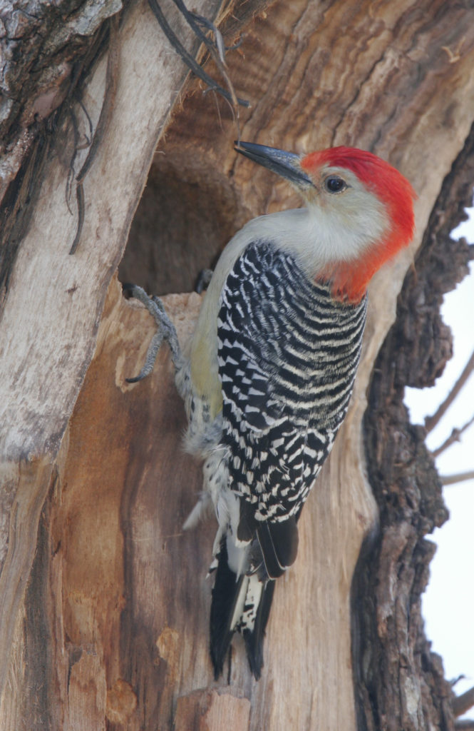 Although The Answers On Birds Behavior Are A Little Complicated I Am Now Fascinated With 13 Species Of Woodpeckers That Occur In Kansas