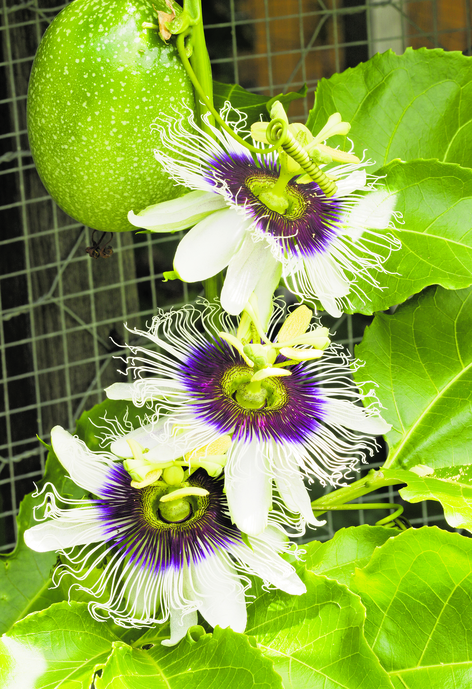Garden Variety Passionflower Adds Tropical Feel News Sports