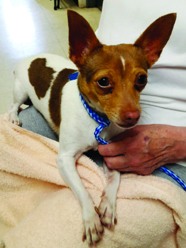 Dixie, a 7-year-old rat terrier at the Clinton County SPCA, needs four surgical procedures that will cost approximately $1,600. Dixie will be at the SPCA's Adopt-A-Thon tomorrow at Bill MacIntyre Chevrolet Buick, and donations will be accepted toward the cost of her operations.  PHOTO PROVIDED