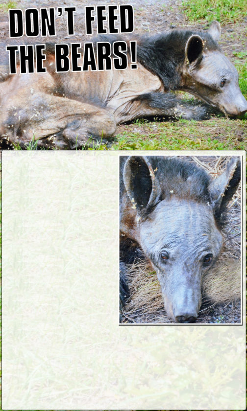 PHOTOS PROVIDED These handout photos from the Game Commission are of a bear with mange found in 2015.