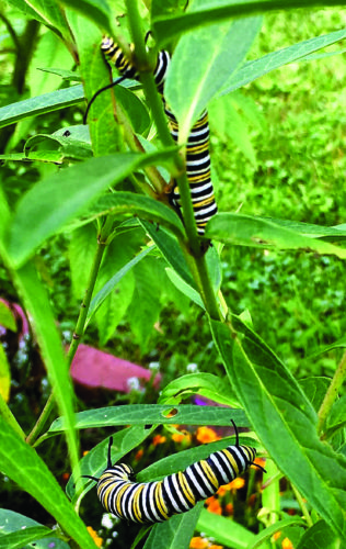PHOTO BY TINA CLINEFELTER Monarch butterfly caterpillars enjoy the  columnist's milkweed.