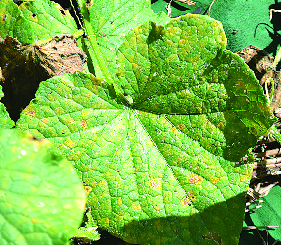 Initial symptoms of downy mildew on cucumbers are small chlorotic spots on the upper leaf surface.
