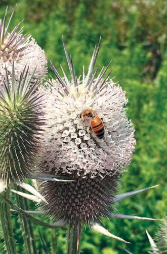 PHOTO BY TINA CLINEFELTER A honeybee enjoys a teasel in this soon-to-be-fall season.