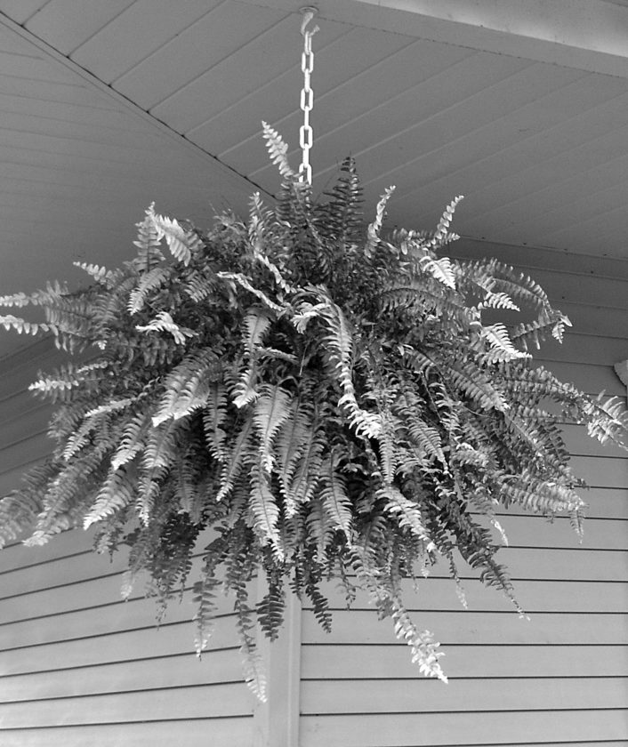 PHOTO BY TOM BUTZLER Boston ferns are a favorite to adorn porches and decks. Try and see if you can get your ferns to overwinter and save yourself some money.