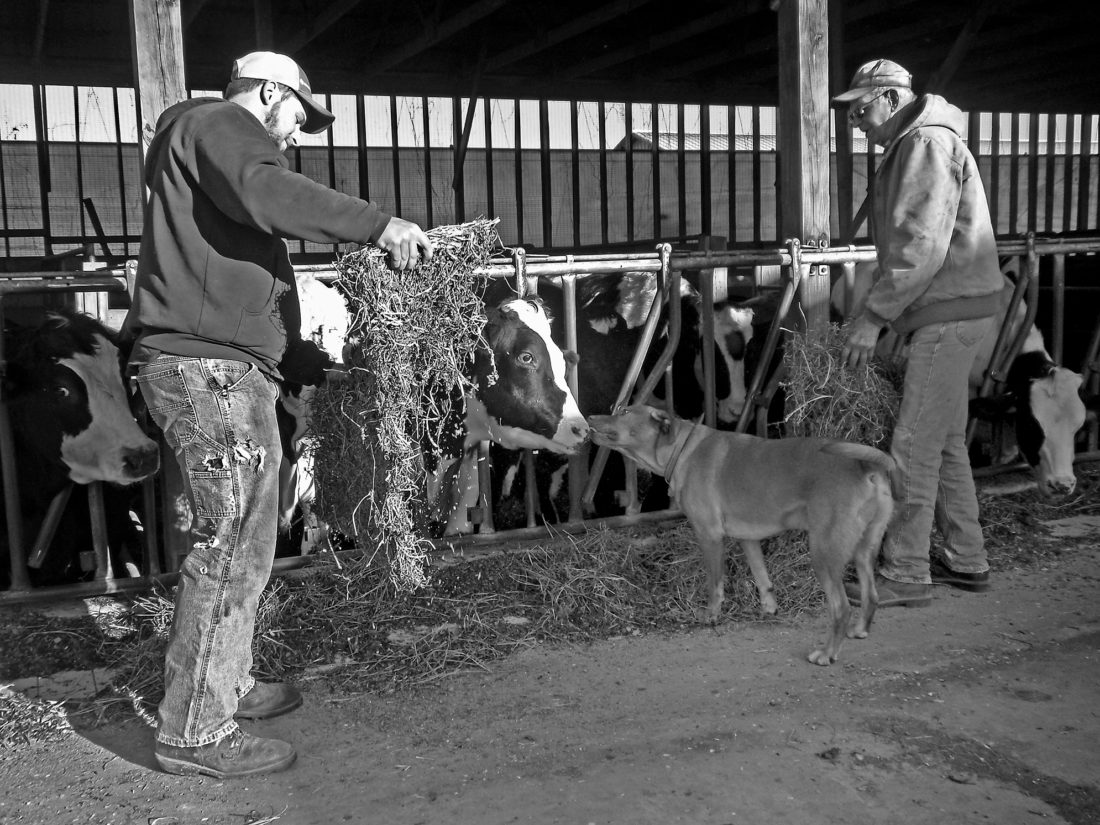 PHOTO PROVIDED Kyle Courter feeds steers in the morning with grandfather Paul Courter, while Kyle's dog, Riggs, grooms a cow's muzzle. Kyle will harvest soybeans later in the day. Paul Courter and his wife, Dee, are lifelong farmers and have been farming at Maple Brook Farms in Mill Hall since 1983.