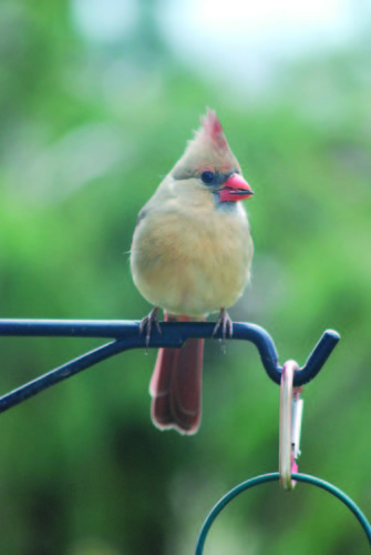 Photo by Art Smith A female northern cardinal sits on a perch.