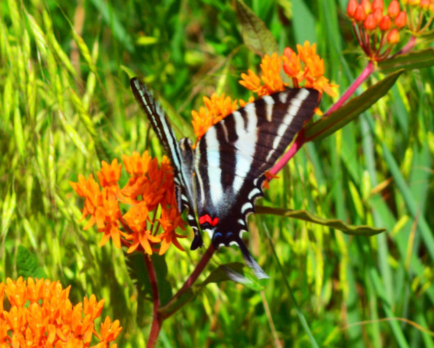 A Zebra Swollowtail butterfly lands on an Orange Butterfly Milkweed plant near a walking path at the Ohio River Islands National Wildlife Refuge Visitors Center.