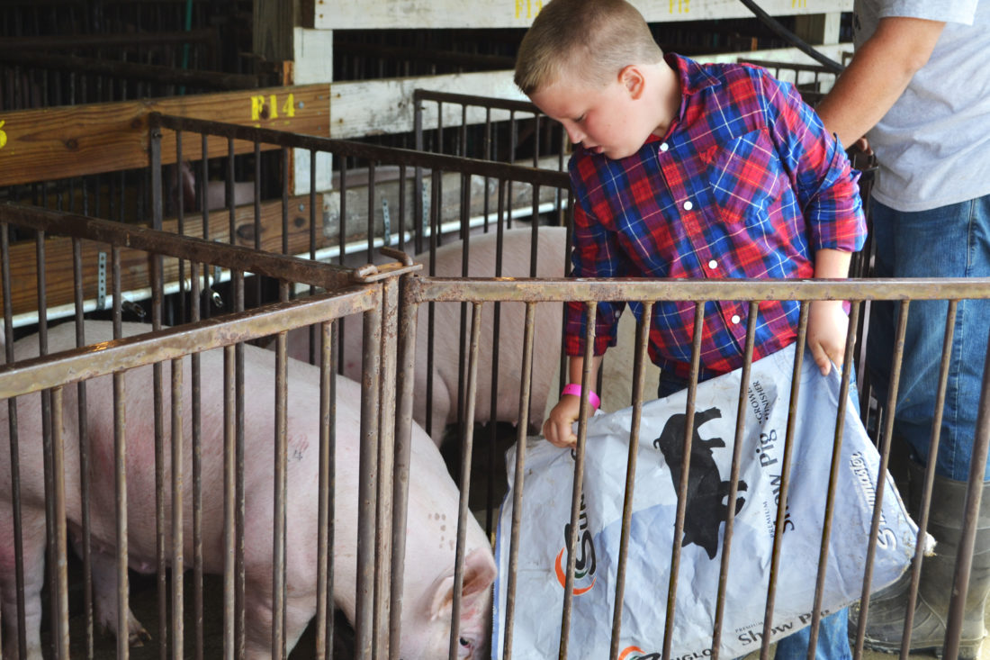 ERIN O'NEILL  The Marietta Times Easton Schaad, 9, feeds his Yorkshire breed pig Thursday as he prepares to show it today. The hog sale will be held Saturday. This is Schaad's first time showing a pig at the fair.