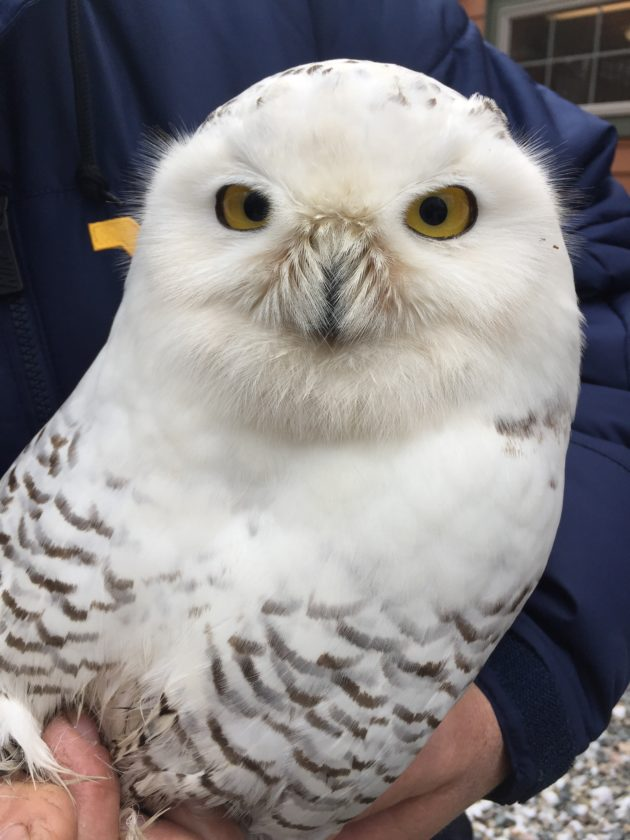 Photo provided by Avian Conservation Center of Appalachia A snowy owl that spent time in Wood County was recovering Monday in Morgantown.