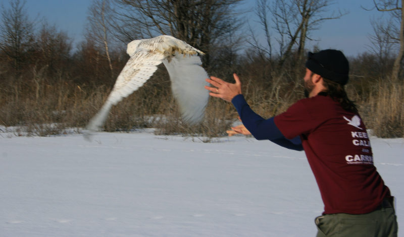 Photo provided by Joey Herron of Fairmont, W.Va. Dr. Jesse Fallon, director of veterinary medicine at the Avian Conservation Center of Appalachia in Morgantown, releases the snow owl on Saturday at Presque Isle State Park on the shore of Lake Erie near Erie, Pa. The owl was found injuried in Vienna in late December, treated for a shoulder injury, strengthened back up and released back into the wild over the weekend.