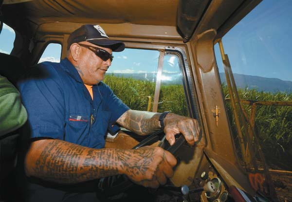 Veteran Tournahauler driver Alvin Ponce powers out of a Central Maui sugar cane field.  The Maui News / MATTHEW THAYER photo