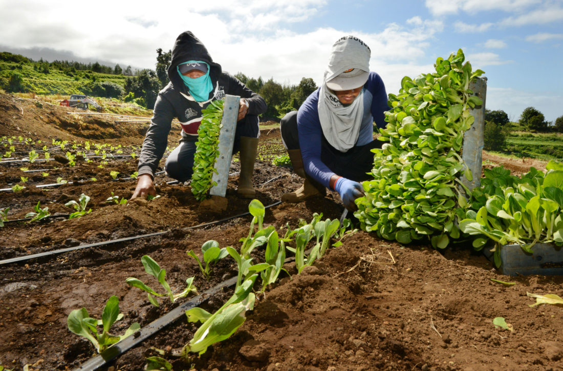 Watanabe Vegetable Processing LLC workers Samuel Claus (right) and Charlie Navarro plant baby bok choy on Wednesday afternoon in Kula • The Maui News / MATTHEW THAYER photo