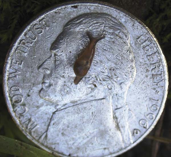 A baby semi-slug is shown on a nickle. Snails, slugs and certain other animals (including freshwater shrimp, land crabs, and frogs) can become infected by ingesting the larvae of the rat lungworm. -- Hawaii Department of Health photo