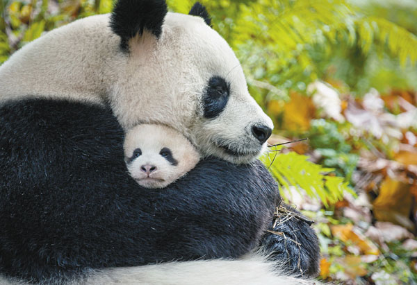 "Mother and cub pandas Ya Ya and Mei Mei in the film ""Born in China."" Disneynature photo via AP"